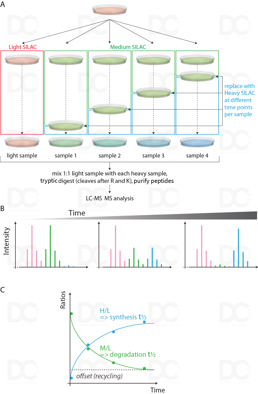 SILAC labeling is a powerful tool to assess global changes in protein turnover